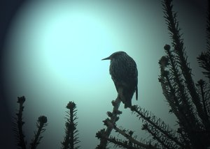 129MP_starling top of pine in october 2015